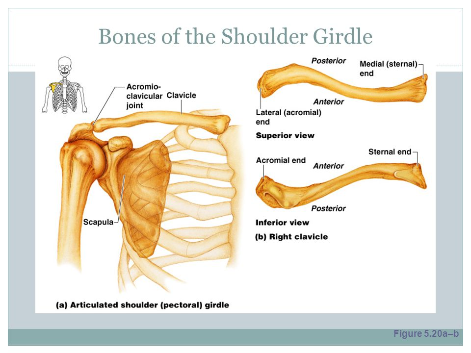 Bones of the Shoulder Girdle