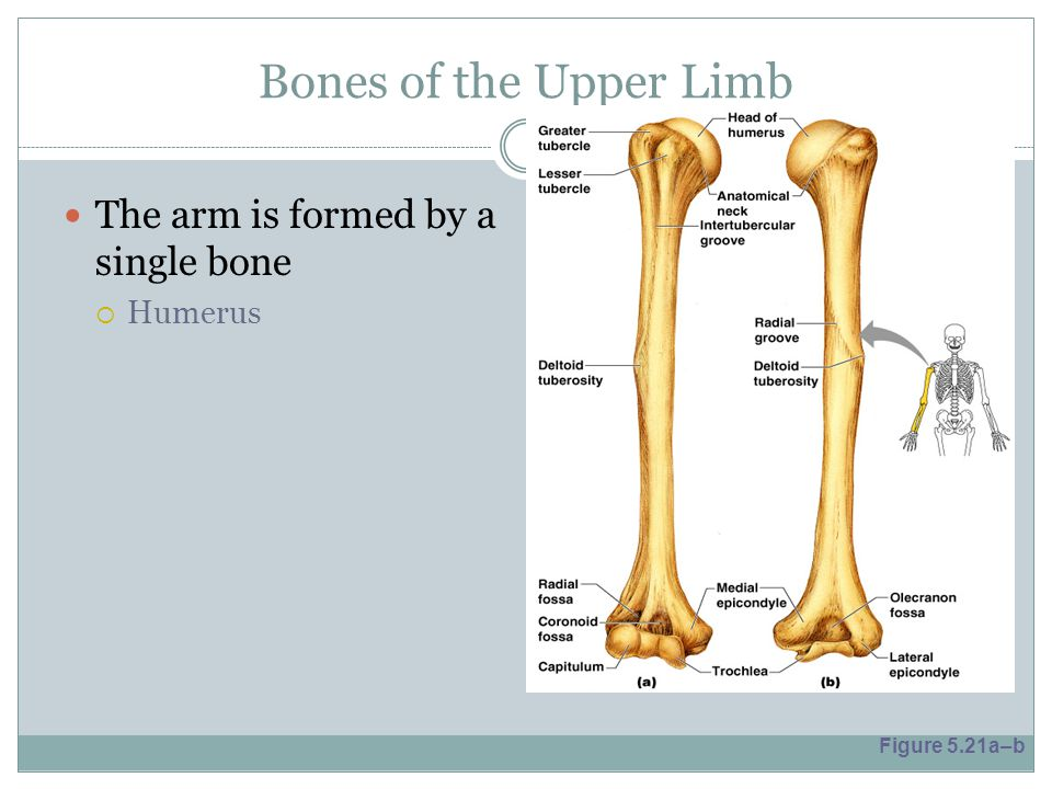 Bones of the Upper Limb The arm is formed by a single bone Humerus