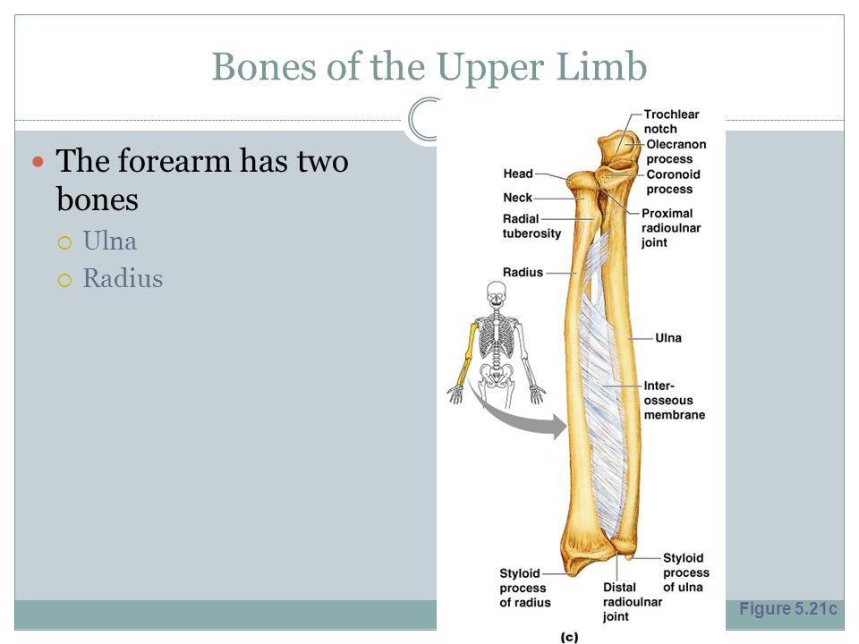Bones of the Upper Limb The forearm has two bones Ulna Radius