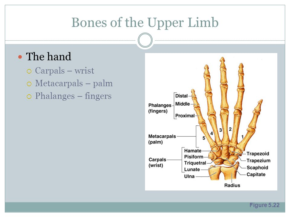 Bones of the Upper Limb The hand Carpals – wrist Metacarpals – palm