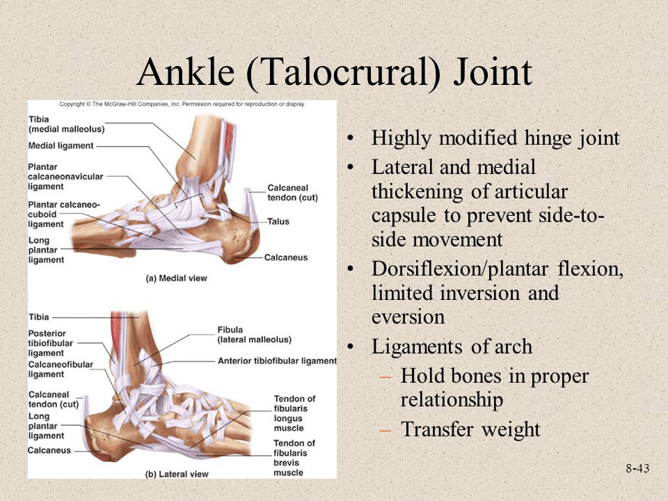 Ankle (Talocrural) Joint