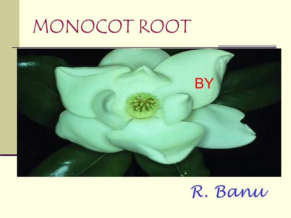 MONOCOT ROOT BY R. Banu