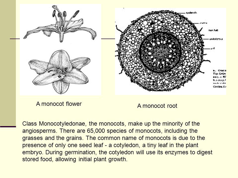 A monocot flower A monocot root.