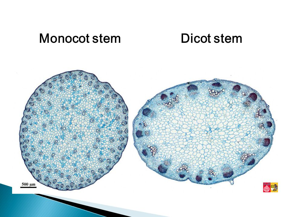 Monocot stem Dicot stem