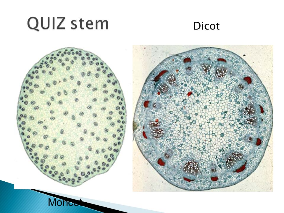 QUIZ stem Dicot Moncot