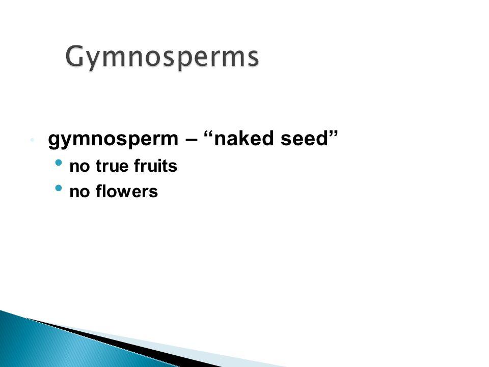 Gymnosperms gymnosperm – naked seed no true fruits no flowers