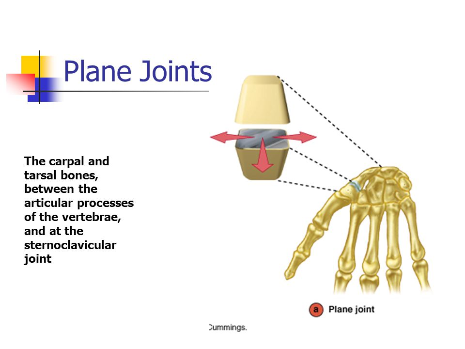 Plane Joints The carpal and tarsal bones, between the articular processes of the vertebrae, and at the sternoclavicular joint.
