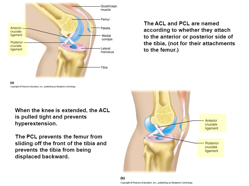 The ACL and PCL are named according to whether they attach to the anterior or posterior side of the tibia, (not for their attachments to the femur.)