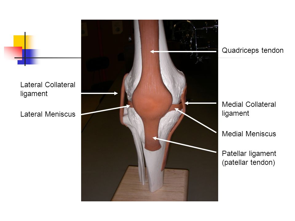 Quadriceps tendon Lateral Collateral ligament. Medial Collateral ligament. Lateral Meniscus. Medial Meniscus.