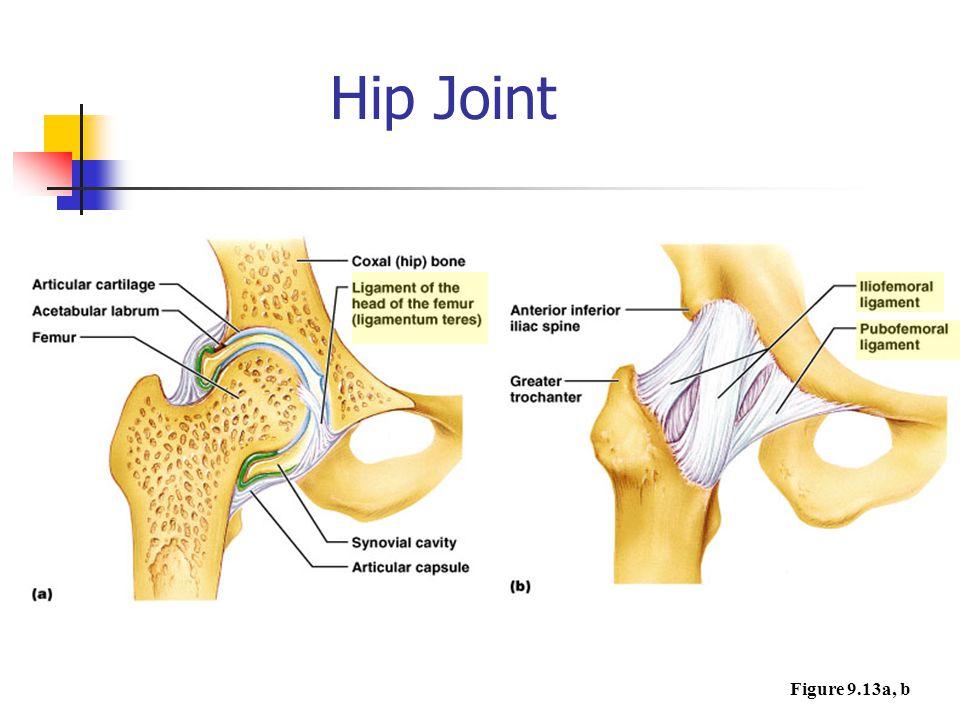 Hip Joint Figure 9.13a, b