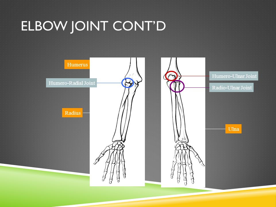 Elbow Joint Cont'd Humerus Humero-Ulnar Joint Humero-Radial Joint
