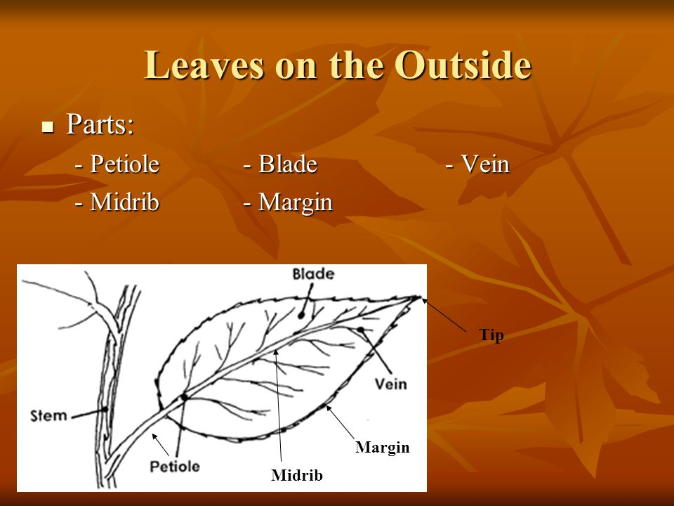 Leaves on the Outside Parts: - Petiole - Blade - Vein