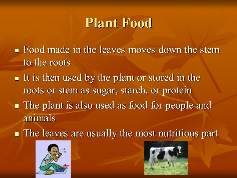 Plant Food Food made in the leaves moves down the stem to the roots