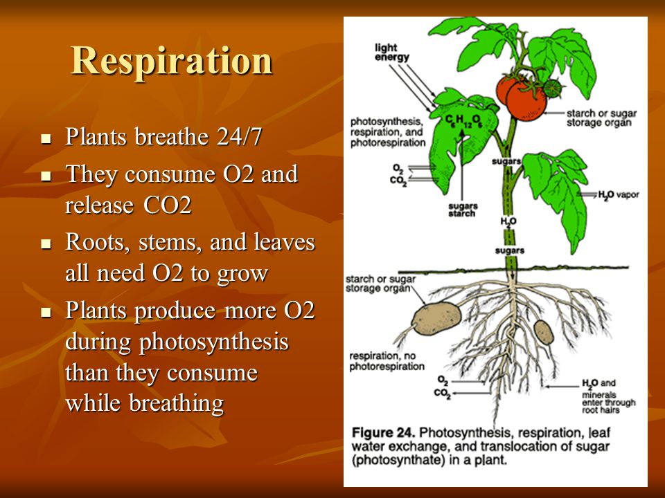 Respiration Plants breathe 24/7 They consume O2 and release CO2