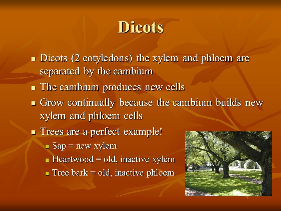 Dicots Dicots (2 cotyledons) the xylem and phloem are separated by the cambium. The cambium produces new cells.