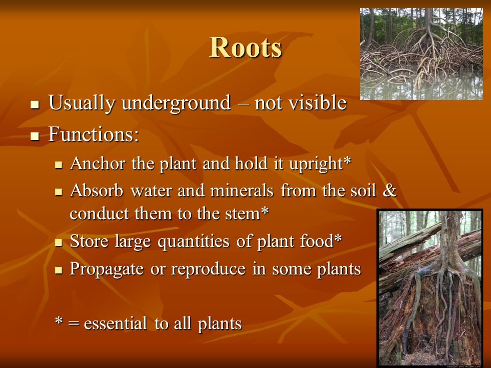 Roots Usually underground – not visible Functions:
