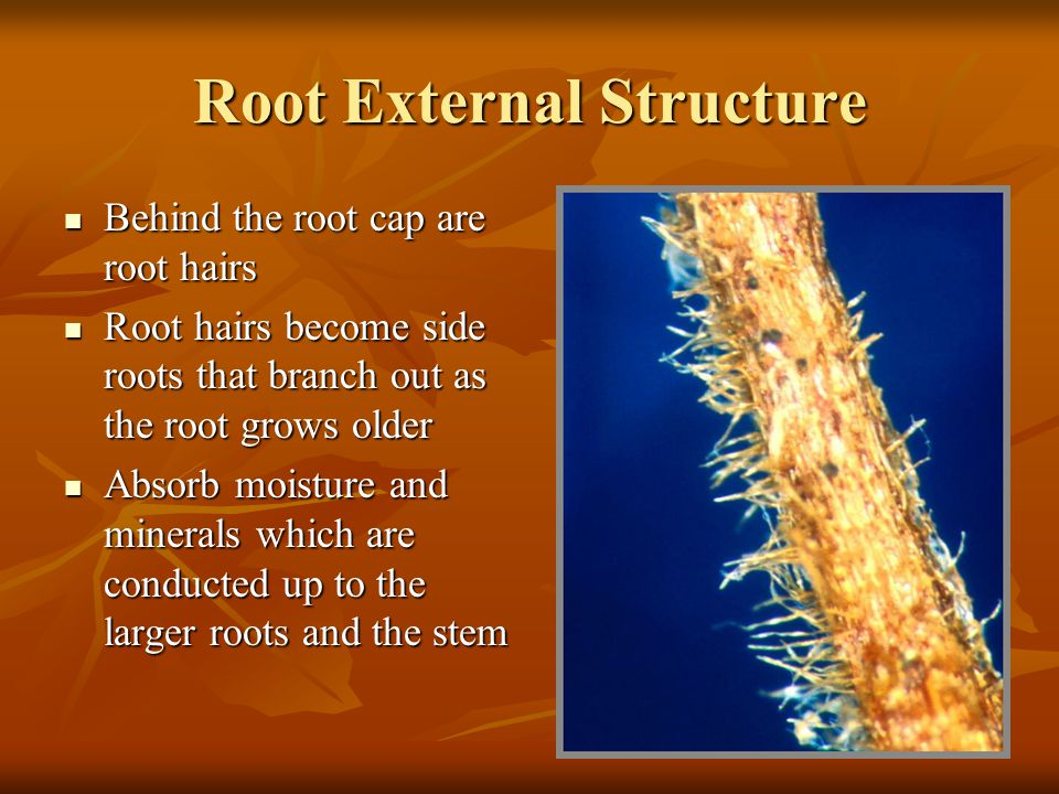 Root External Structure
