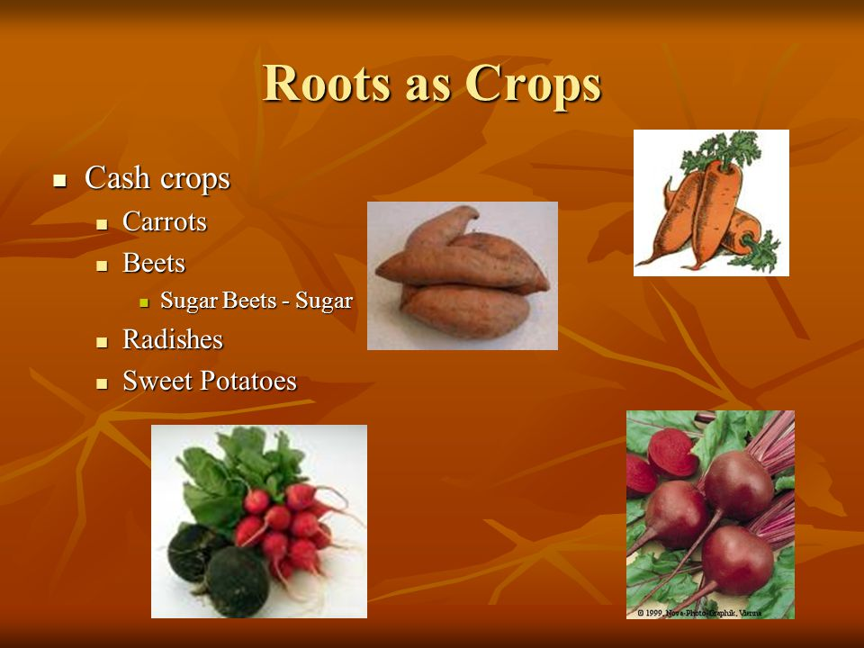 Roots as Crops Cash crops Carrots Beets Radishes Sweet Potatoes