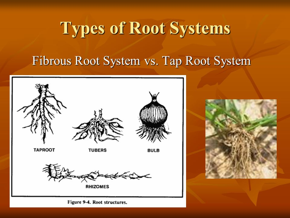 Types of Root Systems Fibrous Root System vs. Tap Root System