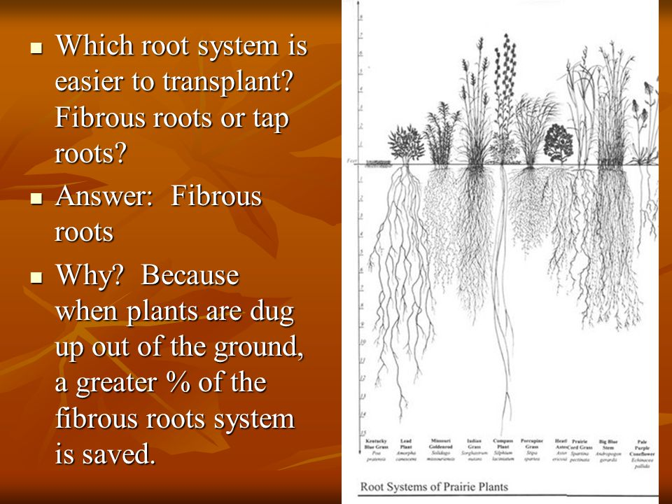 Which root system is easier to transplant Fibrous roots or tap roots