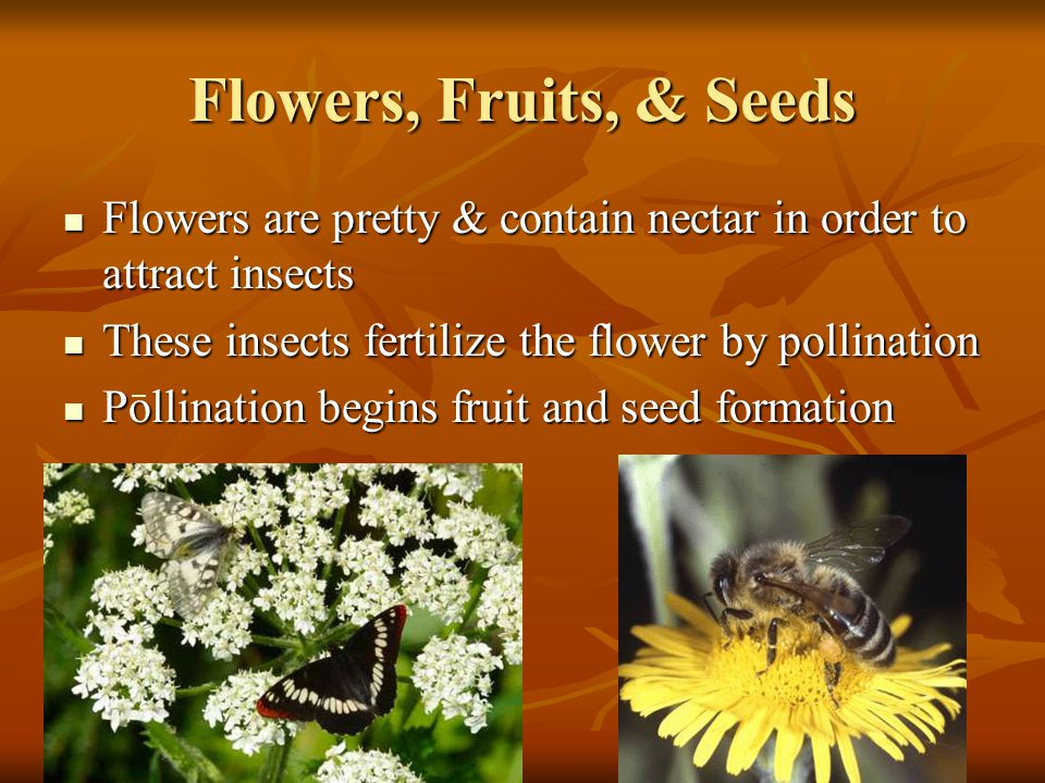 Flowers, Fruits, & Seeds Flowers are pretty & contain nectar in order to attract insects. These insects fertilize the flower by pollination.