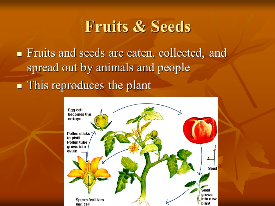 Fruits & Seeds Fruits and seeds are eaten, collected, and spread out by animals and people.