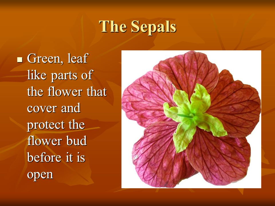 The Sepals Green, leaf like parts of the flower that cover and protect the flower bud before it is open.