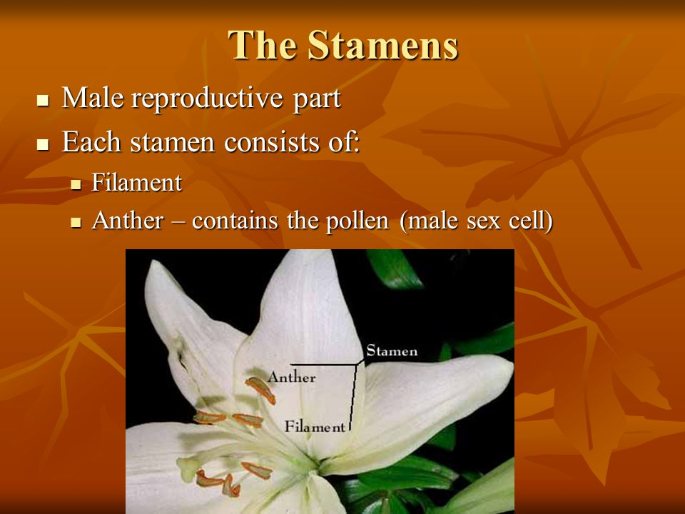 The Stamens Male reproductive part Each stamen consists of: Filament
