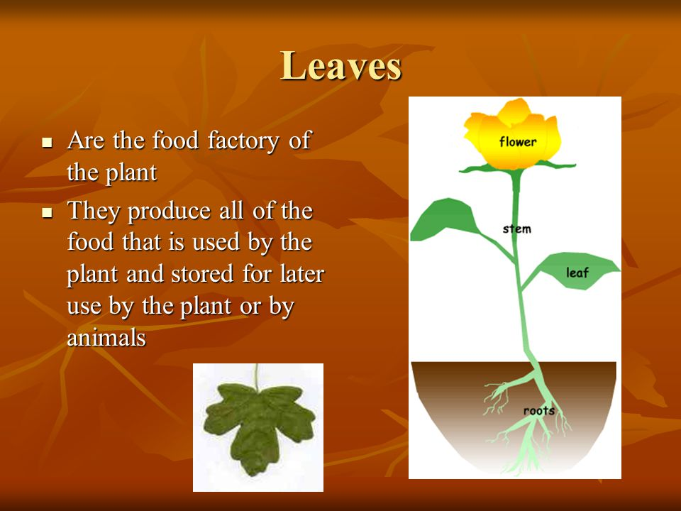 Leaves Are the food factory of the plant
