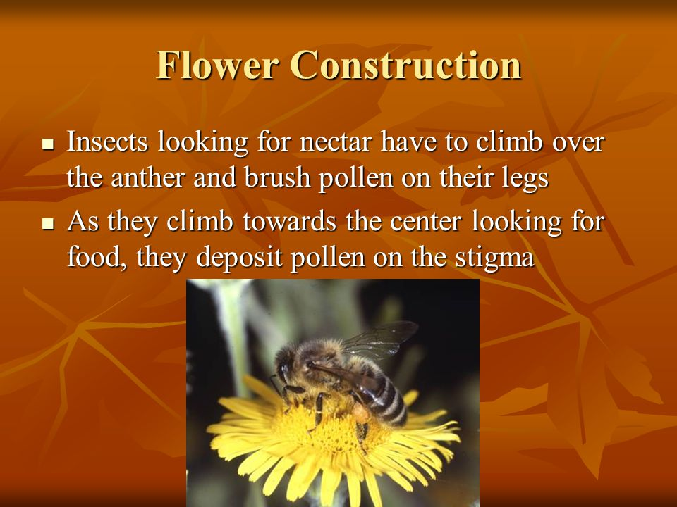Flower Construction Insects looking for nectar have to climb over the anther and brush pollen on their legs.