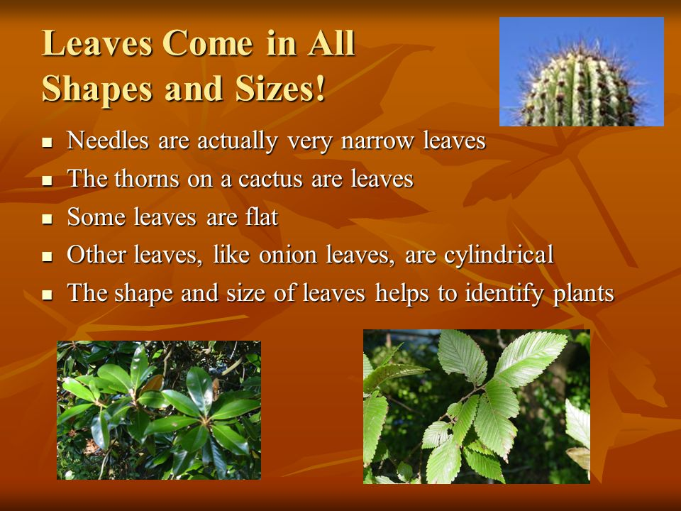Leaves Come in All Shapes and Sizes!