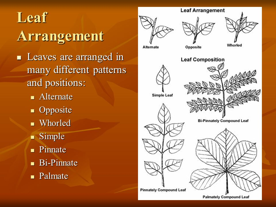 Leaf Arrangement Leaves are arranged in many different patterns and positions: Alternate. Opposite.