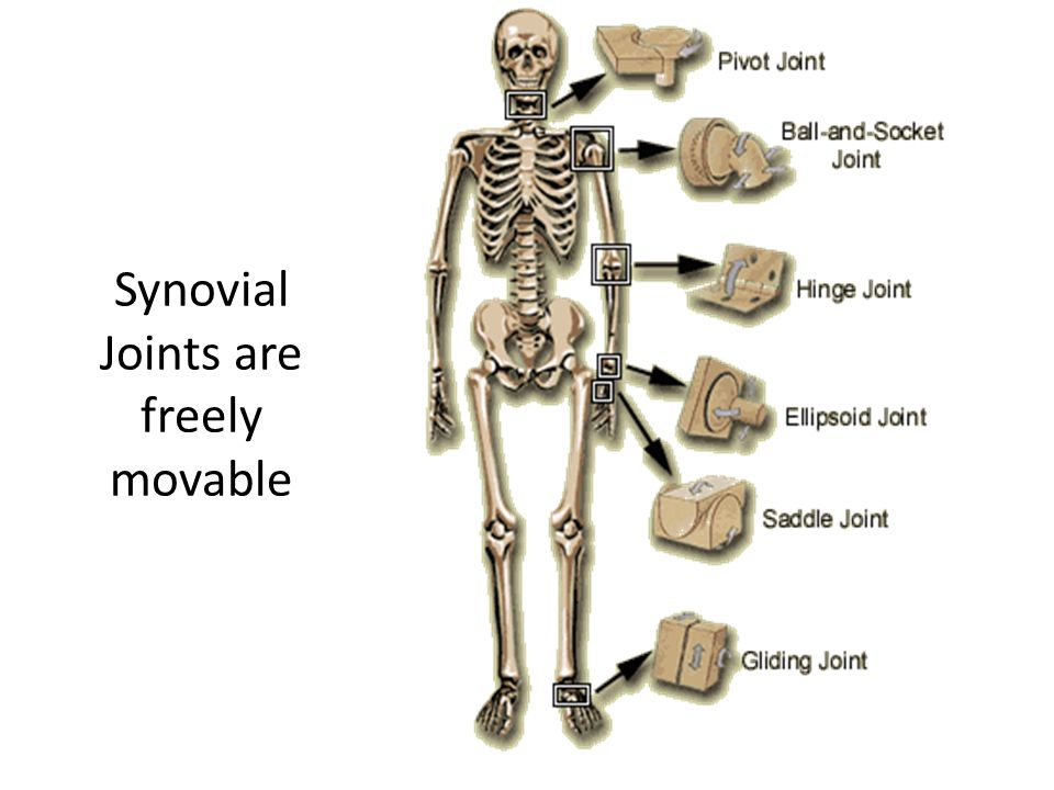 Synovial Joints are freely movable