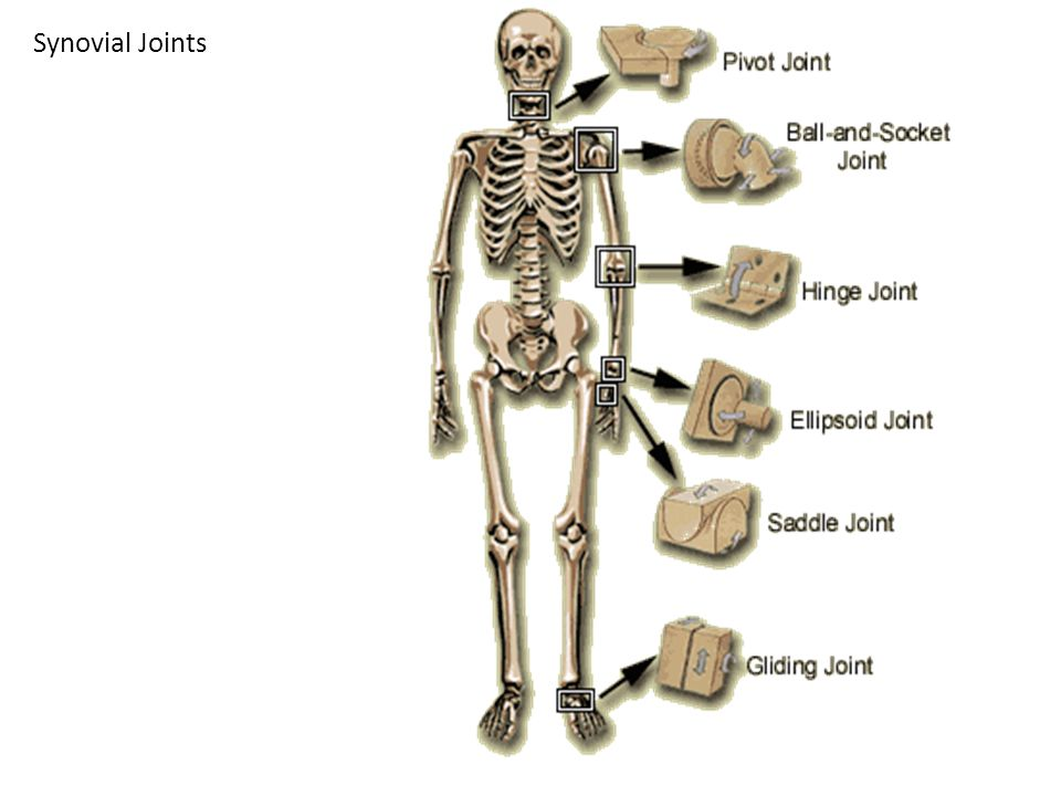 Synovial Joints