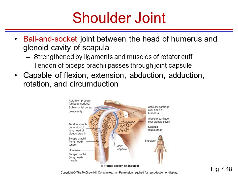 Shoulder Joint Ball-and-socket joint between the head of humerus and glenoid cavity of scapula.