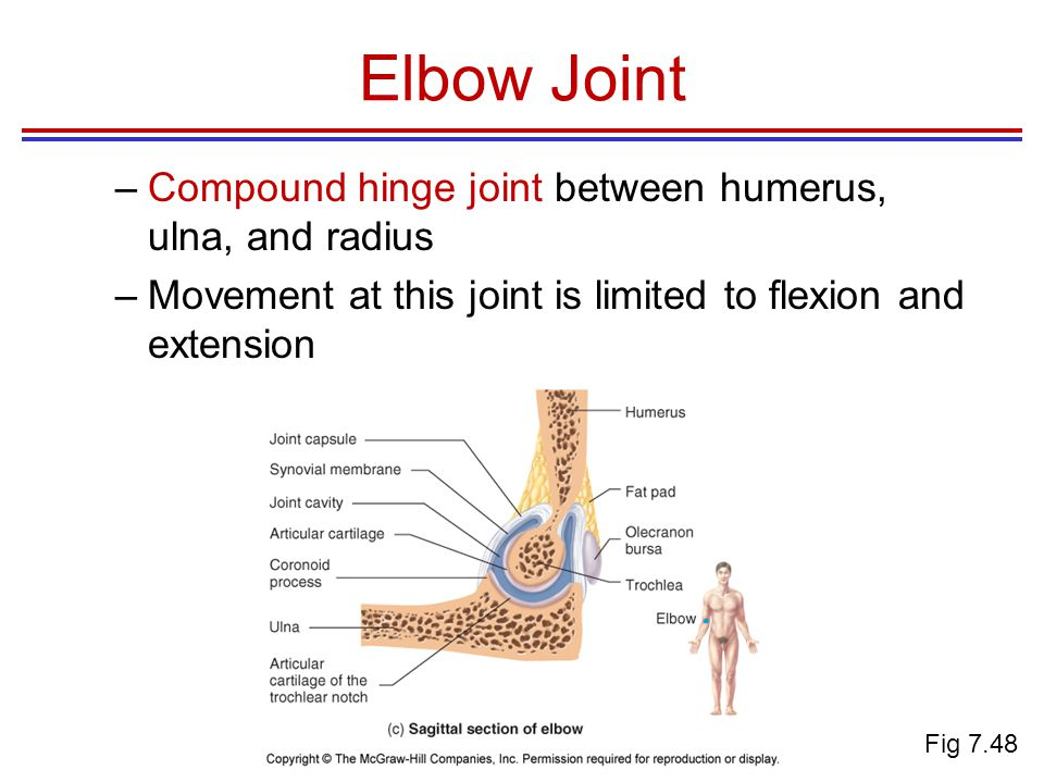 Elbow Joint Compound hinge joint between humerus, ulna, and radius