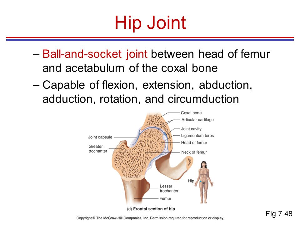 Hip Joint Ball-and-socket joint between head of femur and acetabulum of the coxal bone.