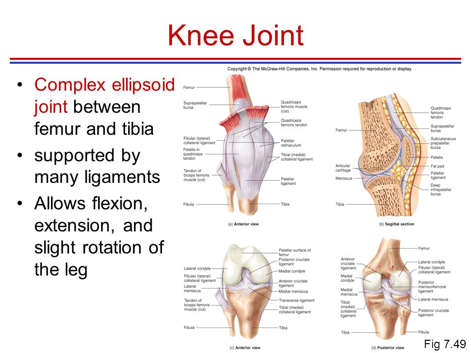 Knee Joint Complex ellipsoid joint between femur and tibia