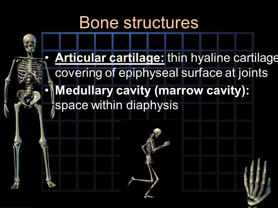 Bone structures Articular cartilage: thin hyaline cartilage covering of epiphyseal surface at joints.