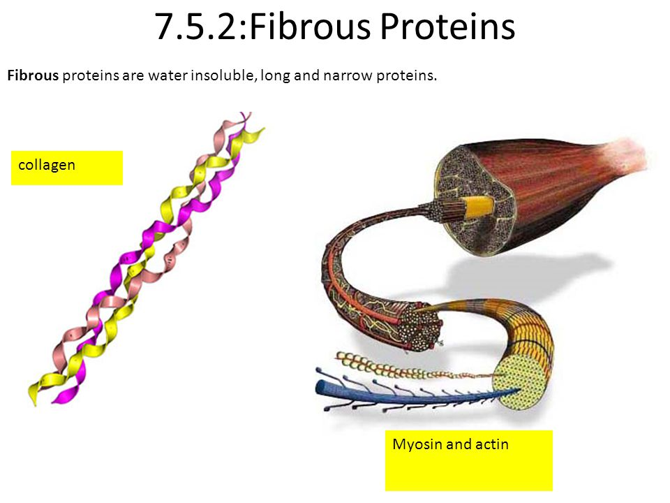 7.5.2:Fibrous Proteins Fibrous proteins are water insoluble, long and narrow proteins.