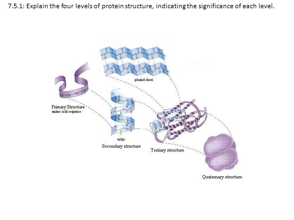 7.5.1: Explain the four levels of protein structure, indicating the significance of each level.