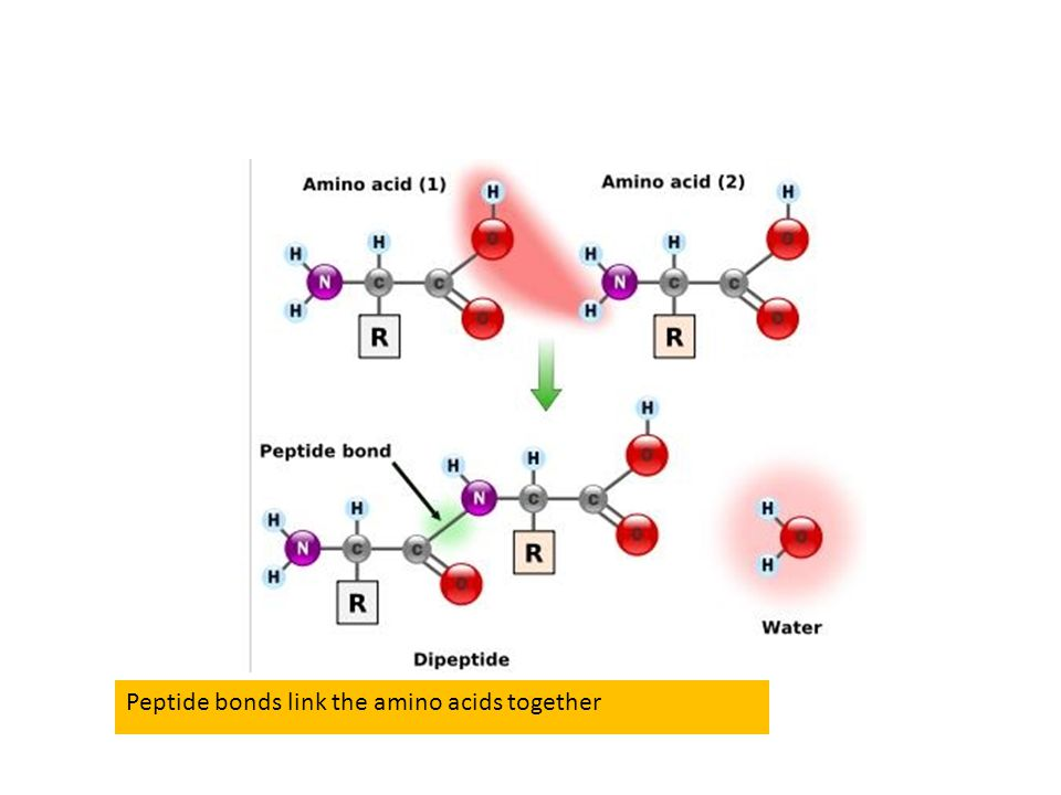 Peptide bonds link the amino acids together