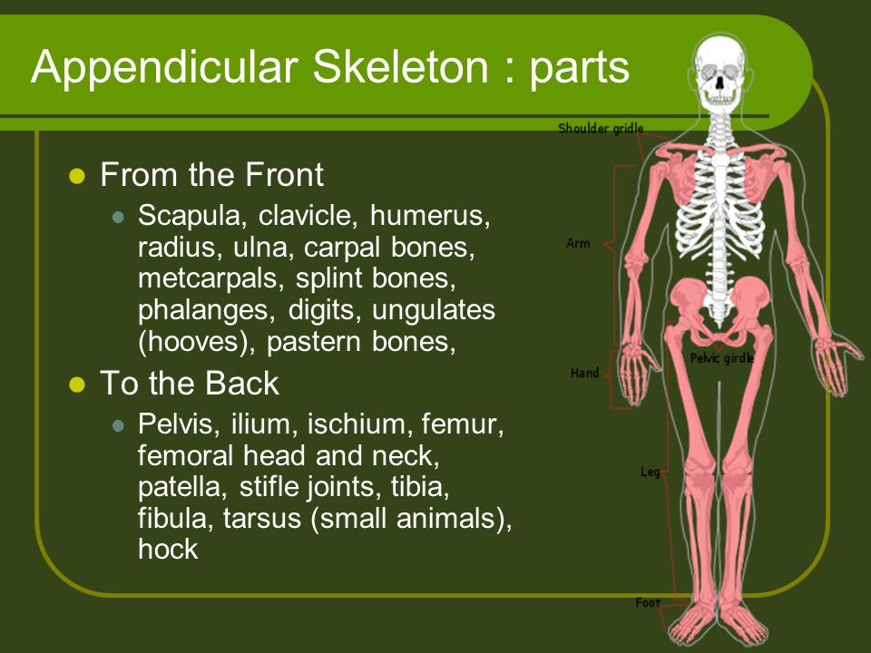 Appendicular Skeleton : parts