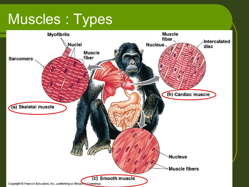 Muscles : Types