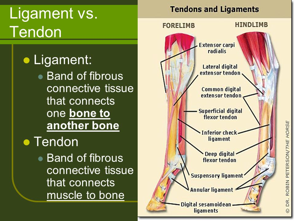 Ligament vs. Tendon Ligament: Tendon