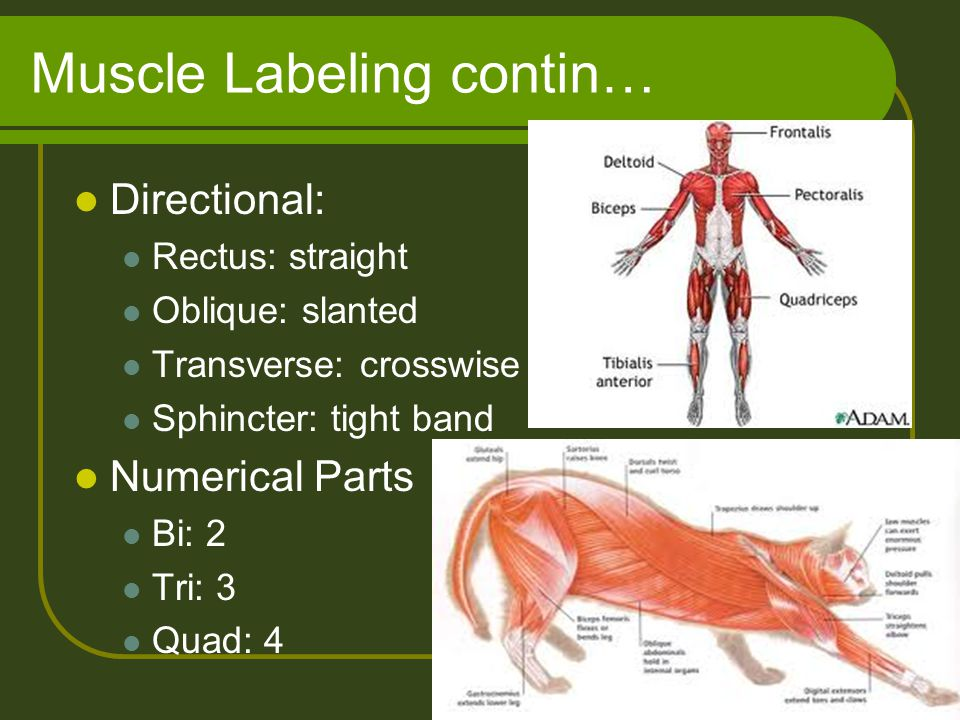 Muscle Labeling contin…