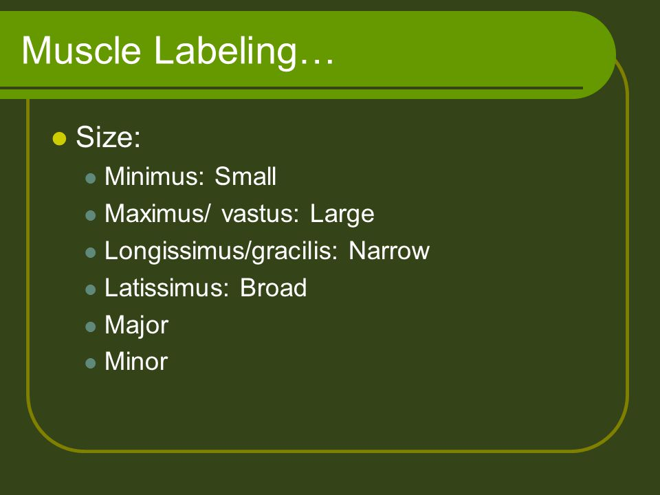 Muscle Labeling… Size: Minimus: Small Maximus/ vastus: Large