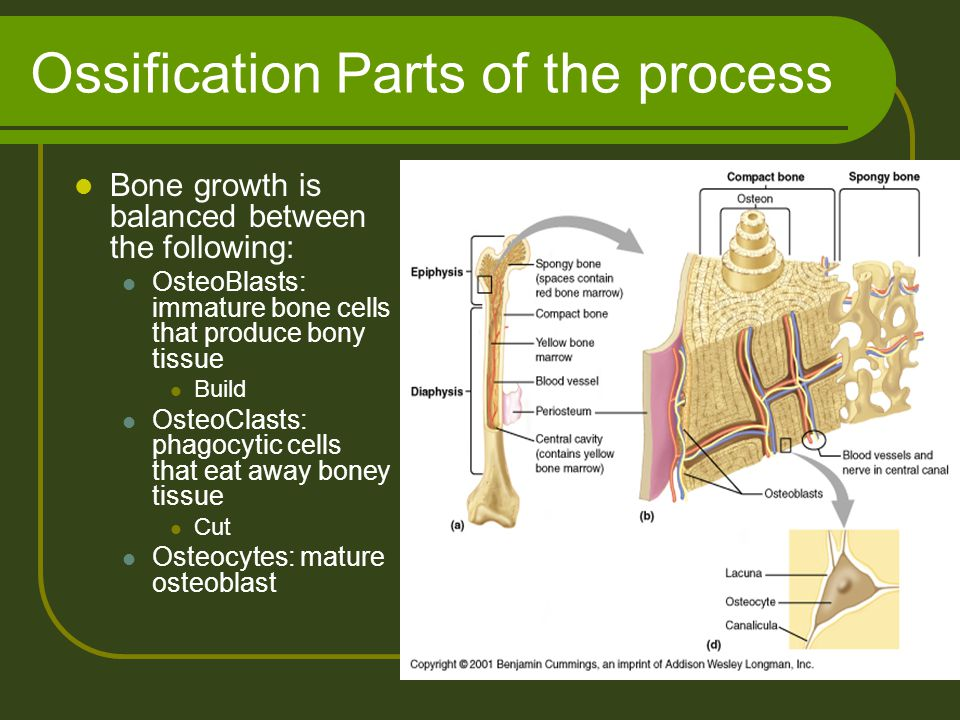 Ossification Parts of the process