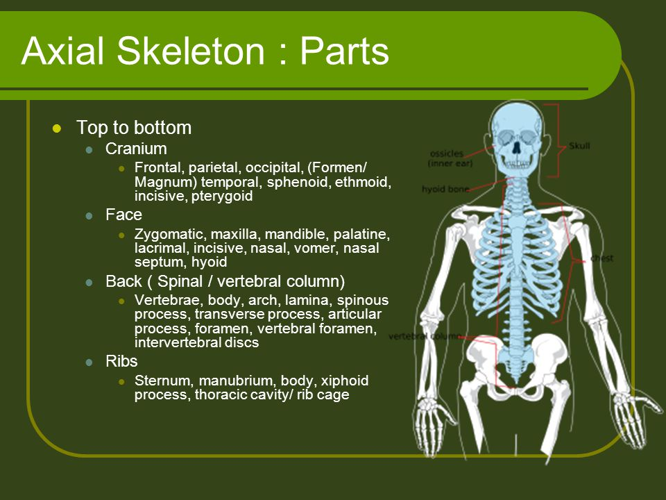 Axial Skeleton : Parts Top to bottom Cranium Face