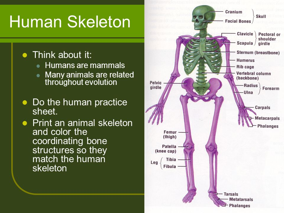 Human Skeleton Think about it: Do the human practice sheet.
